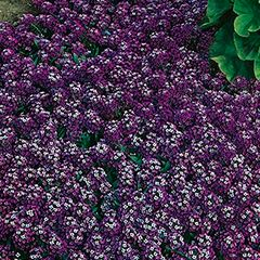 Foto: Alyssum 'Royal Carpet'