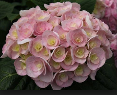 Foto: Hortensia 'You and Me Love'
