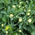 Foto: Broccoli 'Nine Star Perennial'