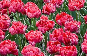 Foto: Tulp 'Eternal Flame'