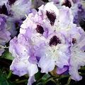 Foto: Rododendron 'Blue Peter'