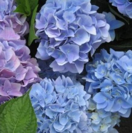 Foto: Hortensia 'Endless Summer'