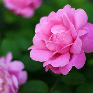 Foto: Roos 'Mary Rose'