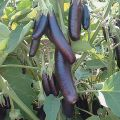Foto: Aubergine 'Little Fingers'