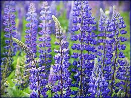 Foto: Lupine 'Camelot Blue'