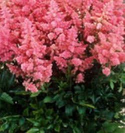 Foto: Astilbe 'Country and Western'