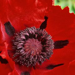 Foto: Oosterse Papaver 'Goliath'