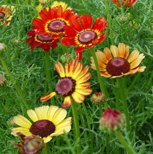 Foto: Tuinchrysant 'Flame Shades'