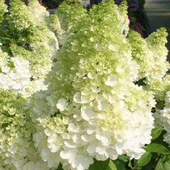 Foto: Pluimhortensia 'Magical Moonlight'