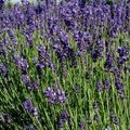 Foto: Lavendel 'Royal Blue'