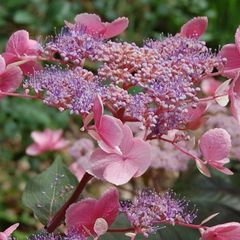 Foto: Hortensia 'Hot Chocolate'