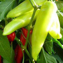 Foto: Chilipeper 'Hungarian Wax'