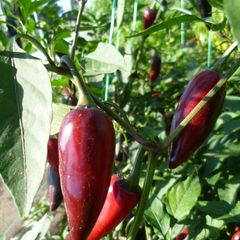 Foto: Chilipeper 'Black Hungarian Wax'