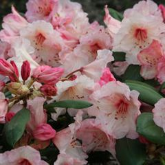Foto: Rododendron 'Virginia Richards'