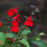 Foto: Salvia 'Painted lady'