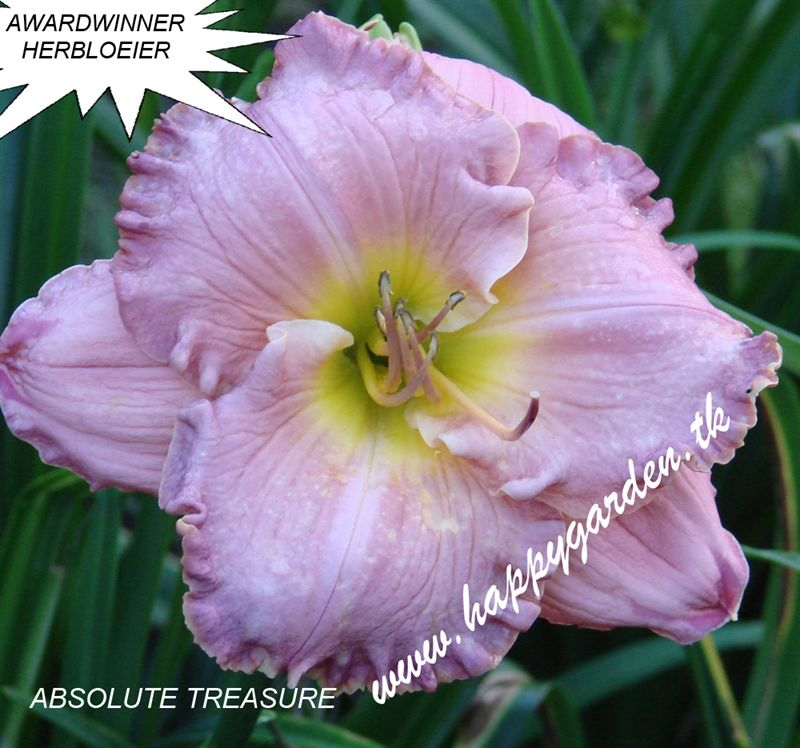 Foto: Daglelie 'Absolute Treasure'