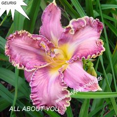 Foto: Daglelie 'All About You'