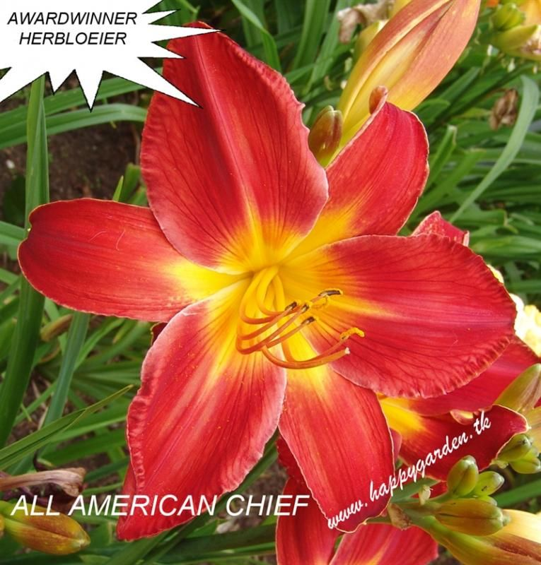 Foto: Daglelie 'All American Chief'