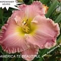 Foto: Daglelie 'America The Beautiful'