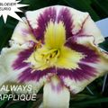 Foto: Daglelie 'Always Applique'