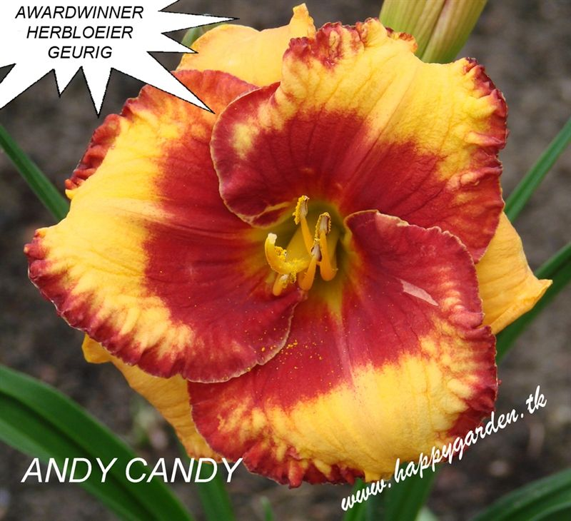 Foto: Daglelie 'Andy Candy'