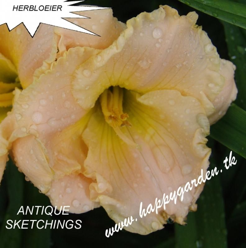 Foto: Daglelie 'Antique Sketchings'