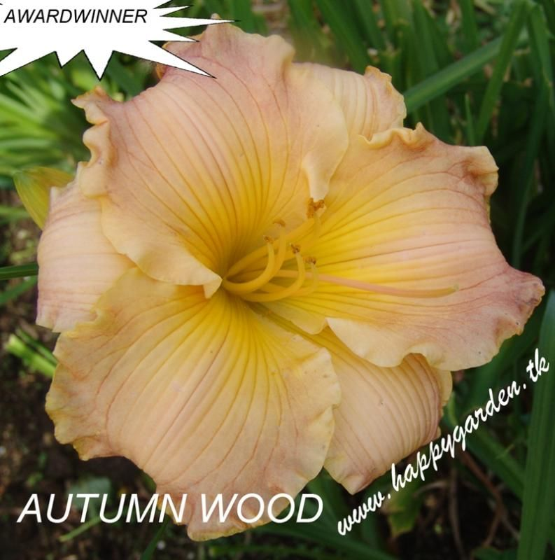 Foto: Daglelie 'Autumn Wood'