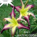 Foto: Daglelie 'Bali Watercolor'