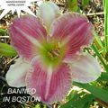 Foto: Daglelie 'Banned In Boston'