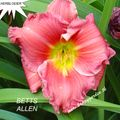 Foto: Daglelie 'Betts Allen'