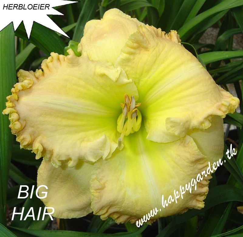 Foto: Daglelie 'Big Hair'