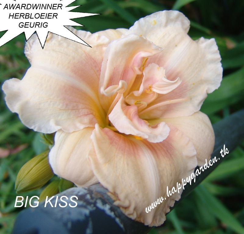 Foto: Daglelie 'Big Kiss'
