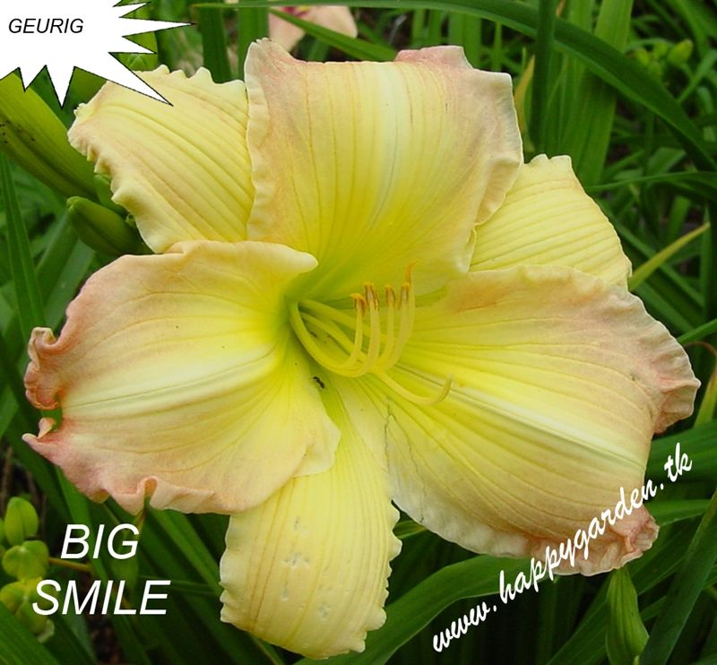 Foto: Daglelie 'Big Smile'
