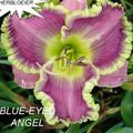 Foto: Daglelie 'Blue Eyed Angel'