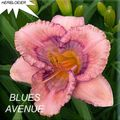 Foto: Daglelie 'Blues Avenue'