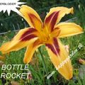 Foto: Daglelie 'Bottle Rocket'