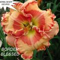Foto: Daglelie 'Border Blessed'