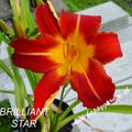 Foto: Daglelie 'Brilliant Star'