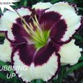 Foto: Daglelie 'Bubbling Up'