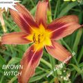 Foto: Daglelie 'Brown Witch'