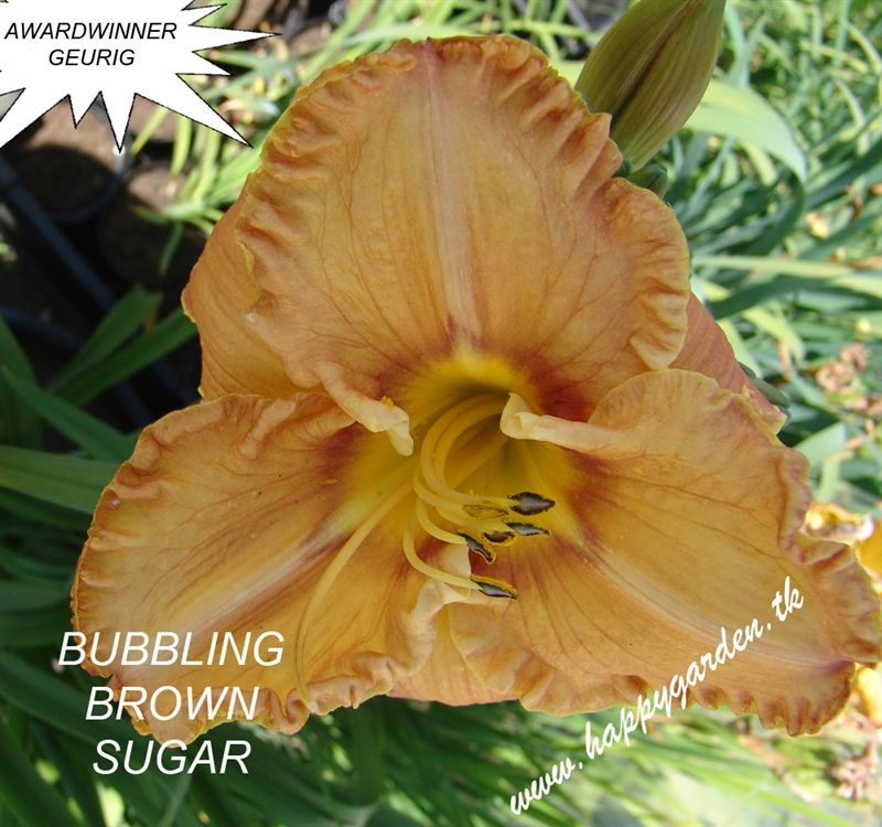 Foto: Daglelie 'Bubbling Brown Sugar'