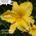 Foto: Daglelie 'California Sunshine'