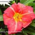 Foto: Daglelie 'Carolina Cranberry'