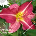 Foto: Daglelie 'Charles Johnston'