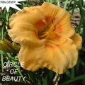 Foto: Daglelie 'Circle Of Beauty'