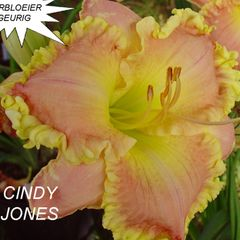 Foto: Daglelie 'Cindy Jones'