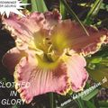 Foto: Daglelie 'Clothed In Glory'