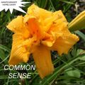 Foto: Daglelie 'Common Sense'