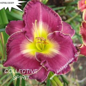 Foto: Daglelie 'Collective Spirit'