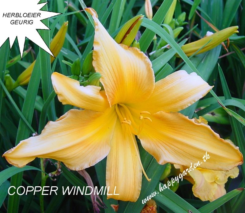 Foto: Daglelie 'Copper Windmill'